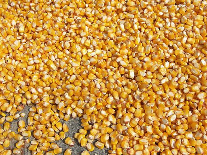 В Курскую область не пустили 18 тонн кукурузы из Венгрии